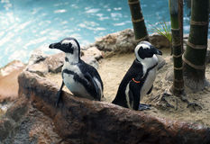 Penguins. African penguins, also called the black-footed penguins, near a pool Stock Photo