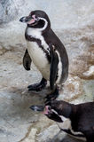 Penguins. The African penguin (Spheniscus demersus), also known as the penguin and black-footed penguin Stock Images