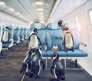 Penguins  in the airplane cabin. Stock Photos