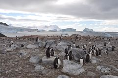 Penguins in Antarctica. Penguin colony in Antarctica Stock Photography