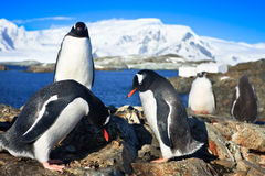 Penguins in Antarctica Royalty Free Stock Photography