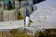 Penguins in an aquarium Royalty Free Stock Photography