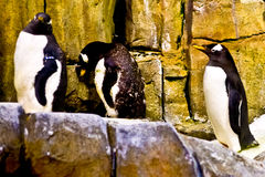 Penguins in an aquarium Stock Photos