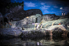 Penguins in aquarium. Bangkok oceanarium Stock Image