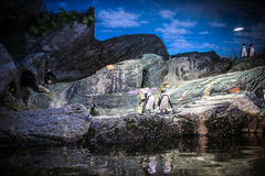 Penguins in aquarium. Bangkok oceanarium Royalty Free Stock Photo