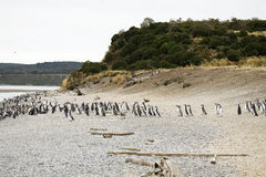 Penguins in Argentina Royalty Free Stock Images