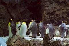 Penguins on the artificial glacier in Loro Park (Loro Parque), T Royalty Free Stock Image