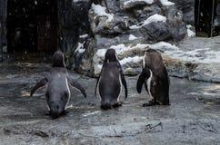 Penguins at Asahiyama Zoo. Stock Photo