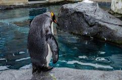 Penguins at Asahiyama Zoo. Royalty Free Stock Photo