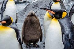 Free Penguins At Asahiyama Zoo. Royalty Free Stock Photo - 99611415