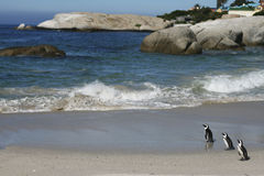 Penguins on a Atlantic beach Stock Photo