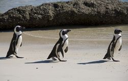 Penguins on beach Stock Photo