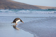 Penguins at the Beach Stock Photography