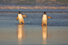 Penguins on the Beach Royalty Free Stock Images