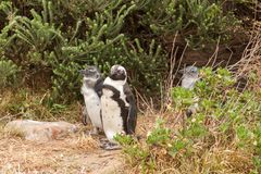 Penguins at the beach of Atlantic ocean in South Africa Stock Photography