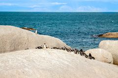 Penguins at the beach of Atlantic ocean in South Africa Stock Photos