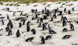 Penguins on the beach Royalty Free Stock Photo