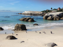 Penguins on the beach. In Cape Town - Africa Royalty Free Stock Photo