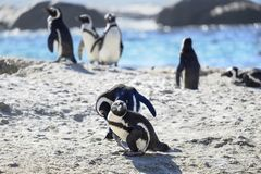 Penguins at the beach royalty free stock photos