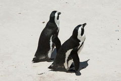 Penguins on beach. Two Penguins on beach white sand sunny day Royalty Free Stock Photo