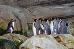 Penguins at the Berlin zoo. The penguins of the Berlin zoo, it seems like a parade Royalty Free Stock Photo