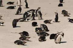 Penguins on Boulder Beach. This beautiful beach is the home of over 2,000 endangered African penguins, and one of the few mainland penguin colonies in the world stock photos