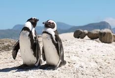 Penguins Boulders. Breeding pair of Jackass Penguins at Boulders Beach near Cape Town Royalty Free Stock Image