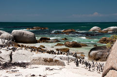Penguins at boulders beach. Penguins at the sandy beach at Boulders in South Africa Royalty Free Stock Photos