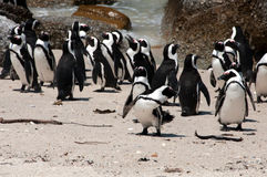 Penguins at boulders beach. Penguins at the sandy beach at Boulders in South Africa Royalty Free Stock Image
