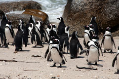 Penguins at boulders beach. Penguins at the sandy beach at Boulders in South Africa Royalty Free Stock Photo