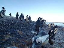 Penguins. On Boulders Beach in Cape Town South Africa Stock Photography
