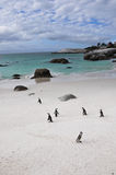 The Penguins of Boulders Beach Royalty Free Stock Photos