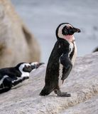 Penguins at Boulders Beach in Simonstown, Cape Town in South Africa. Beach is home to a colony of Afr stock photo