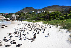 Penguins at Boulders Beach. South Africa. Endangered African penguins on False Bays Boulders Beach in Simons Town, Western Cape, South Africa Stock Photo