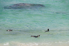Penguins at Boulders Beach,South Africa. Stock Images