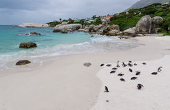 Penguins at Boulders Beach South Africa Stock Image