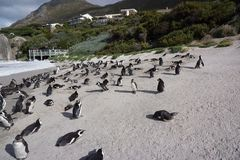 Penguins at Boulders Beach. Boulders Beach, South Africa-July 30, 2015:colony of Jackass penguins Stock Photos