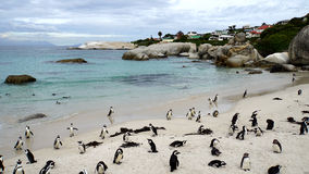 Penguins on the Cape Peninsula Royalty Free Stock Photos