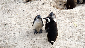 Penguins on the Cape Peninsula Royalty Free Stock Images