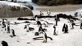Penguins on the Cape Peninsula Stock Images