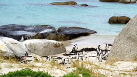 Penguins on the Cape Peninsula in South Africa Stock Images