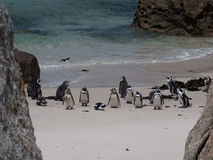Penguins in Cape Point South Africa Royalty Free Stock Photos