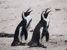 Penguins in Cape Point South Africa Stock Photos