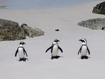 Three African Penguins Stock Photography