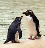 Penguins Chatting Stock Image