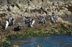 Penguins on Chiloé Stock Photos