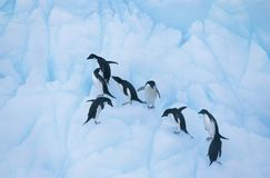 Penguins climbing on ice Royalty Free Stock Images