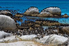 Penguins colony and Cape cormorant birds at Boulders Beach, South Africa royalty free stock image