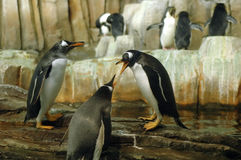 Penguins in conference. Humorous image of penguins in a heated conversation Stock Photo