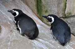 Penguins couple Stock Photos